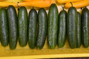 """Cucumber """"Socrates"""""""