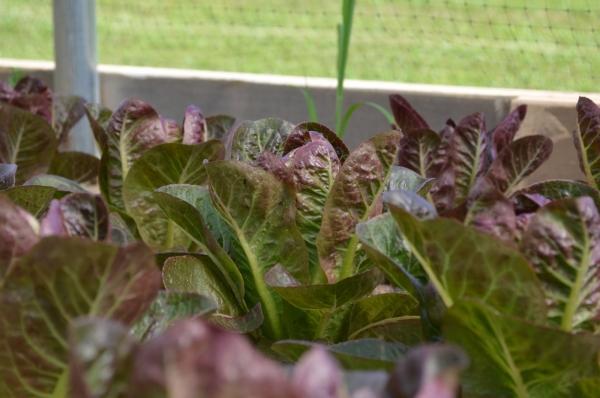 """Lettuce - """"Breen Romaine"""""""
