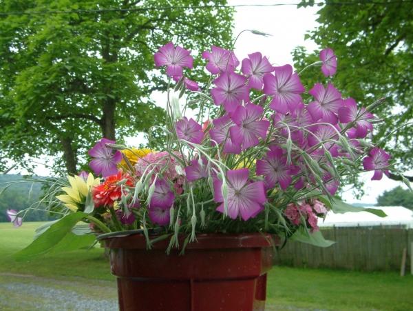 Purple Queen Agrostemma